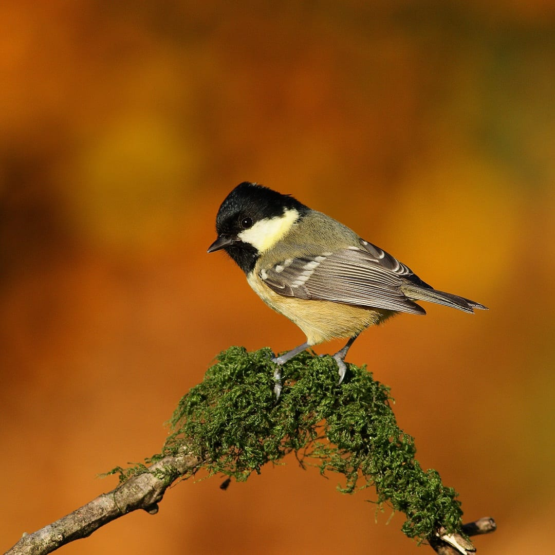 coal-tit-standing-on-mossy-branch