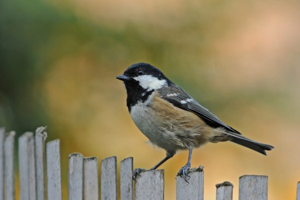 coal-tit-standing-on-picket-fence