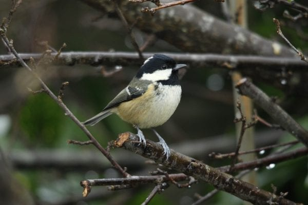 coal-tit-standing-on-end-of-branch