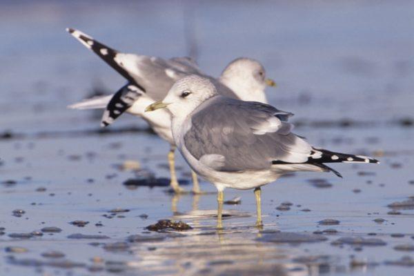 two-common-gulls-standing-on-beach