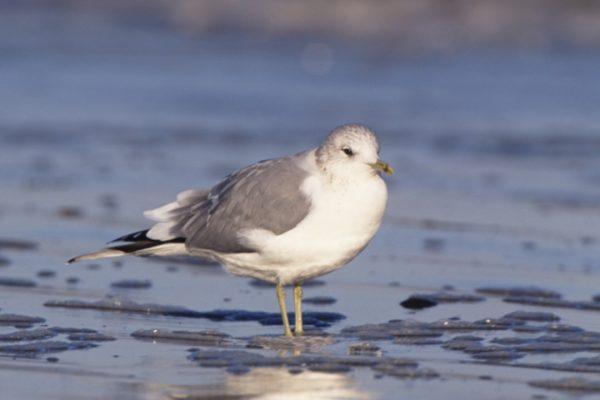 common-gull-standing-on-beach