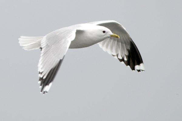 Common Gull (Michael Finn)