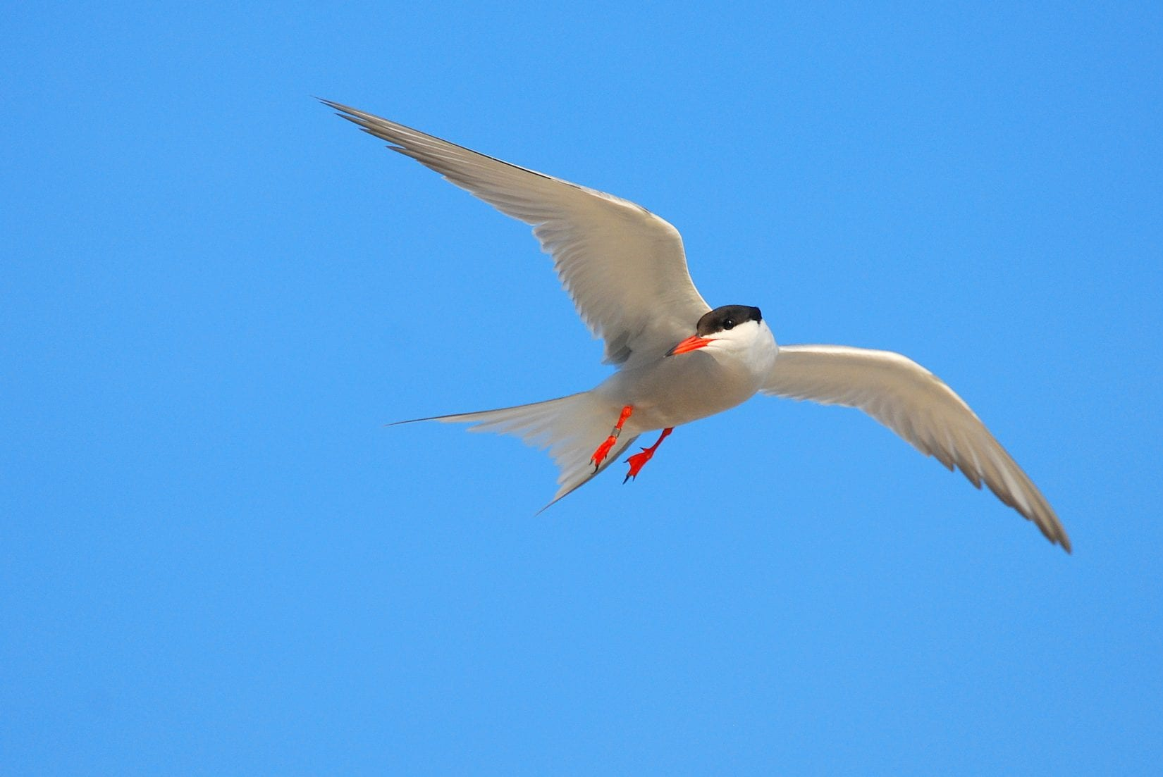 Common-Tern-In-Flight