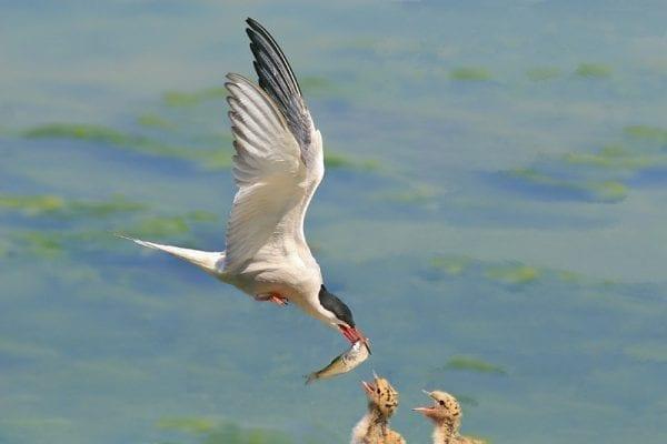 Common Tern  (Noel Marry)