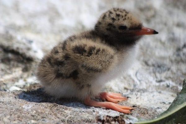 Common Tern (Laura Glenister)