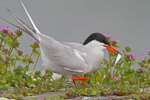 Common Tern(Shay Connolly)