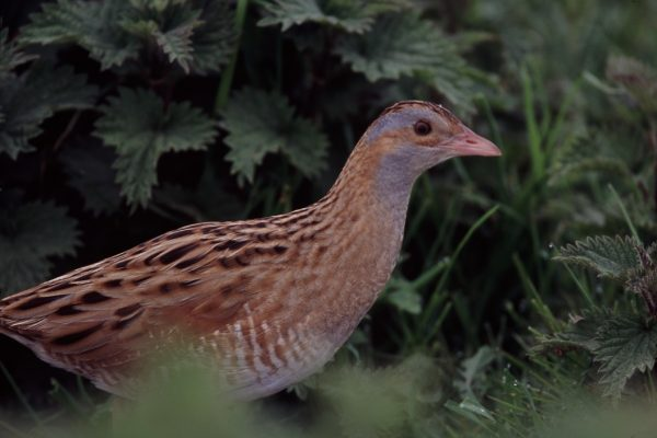 Corncrake 10 (Billy Clarke)