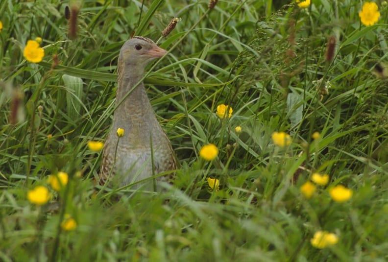 Corncrake-buttercup field