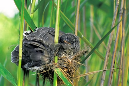 Cuckoo 08 (chick in nest) (Artur Tabor)