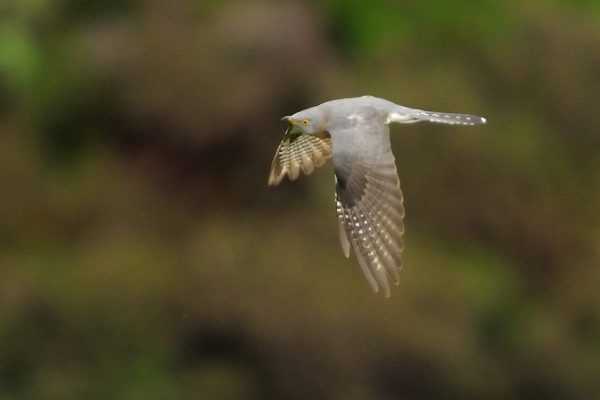 Cuckoo (John Fox)