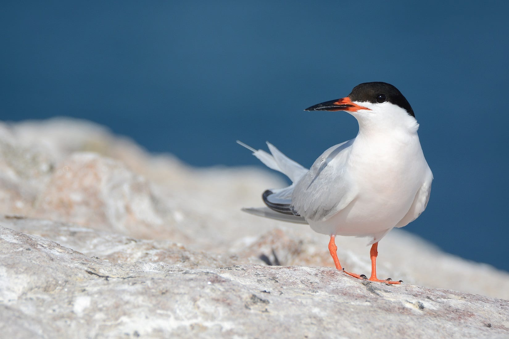 Roseate-Tern-on-Rockabill