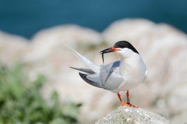 Roseate-Tern-on-Rockabill