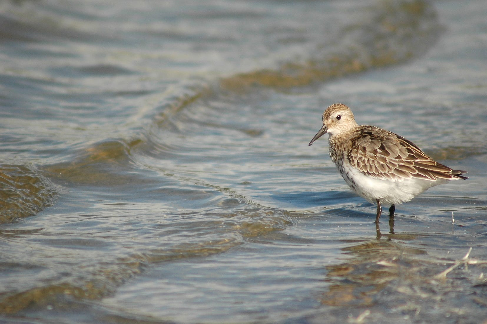 A-Dunlin-on-the-waters-edge