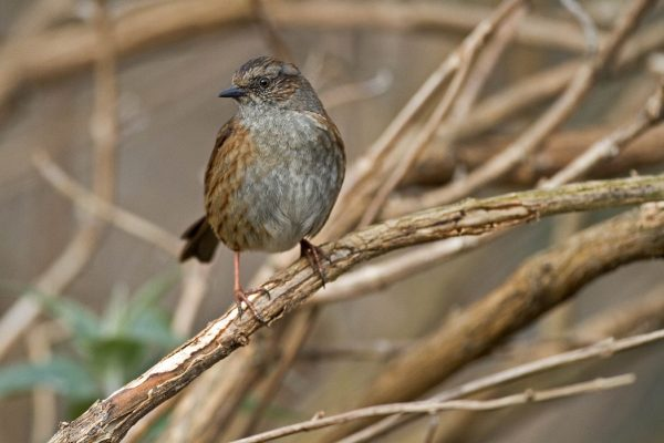 Dunnock  (Shay Connolly)