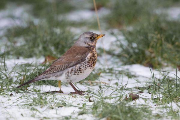 fieldfare-standing-in-snowy-field