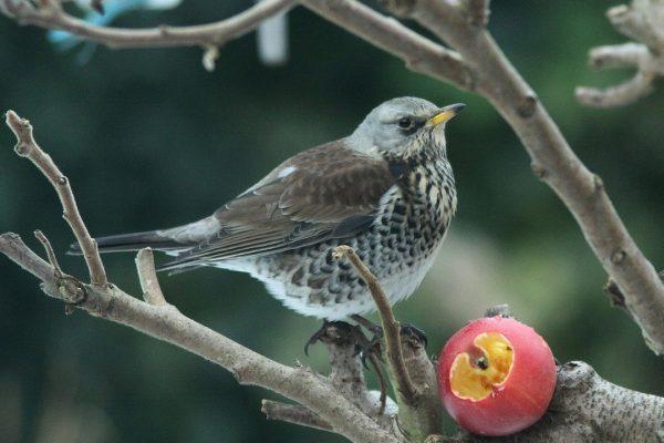 fieldfare-standing-in-tree-feeding-from-apple