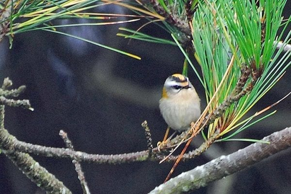 firecrest-standing-on-branch-of-fir-tree