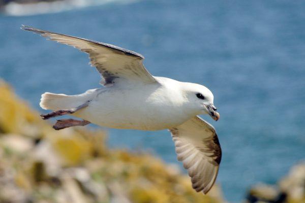 fulmar-in-flight