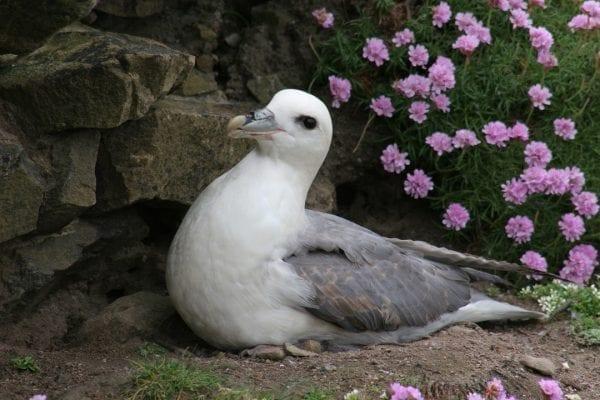 fulmar-sitting-on-nest