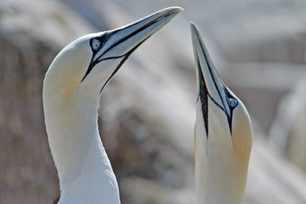 close-up-of-pair-of-gannets-with-beaks-raised