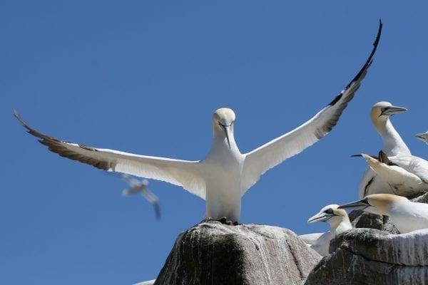 gannet-standing-on-rock-next-to colony-with-wings-raised