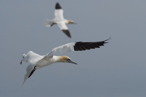 two-gannets-in-flight