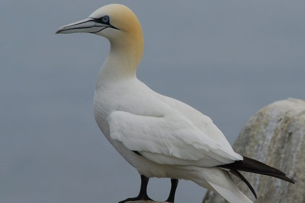 adult-gannet-standing-on-rock