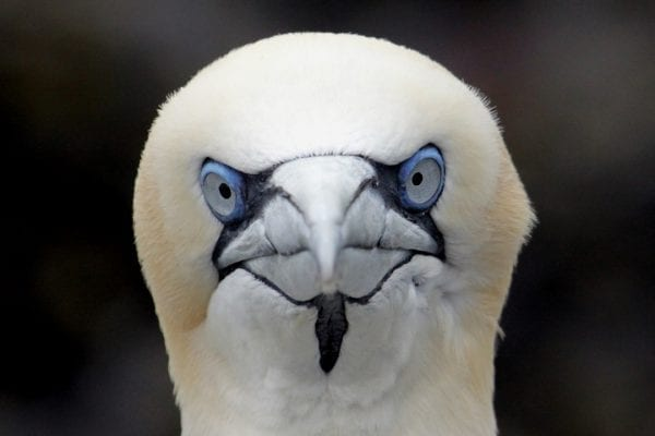 close-up-of-gannet-looking-at-camera