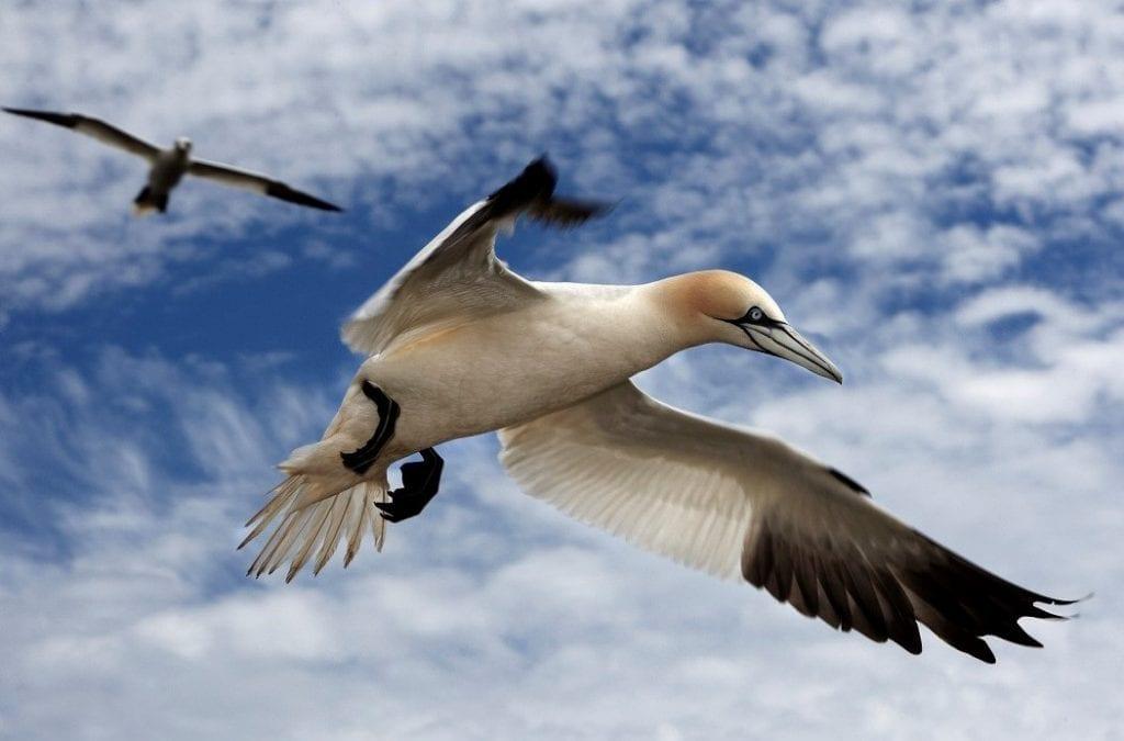 two-gannets-in-flight