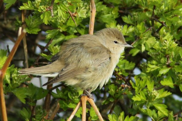 juvenile-garden-warbler-in-tree