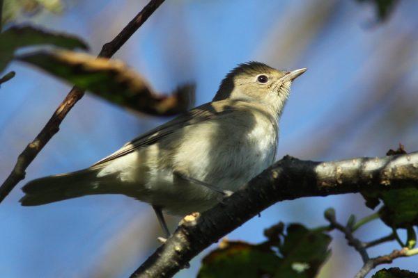 garden-warbler-on-tree-branch