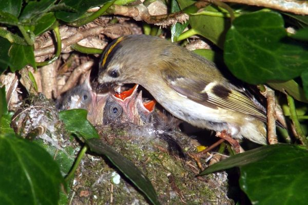 goldcrest-feeding-chicks-on-nest