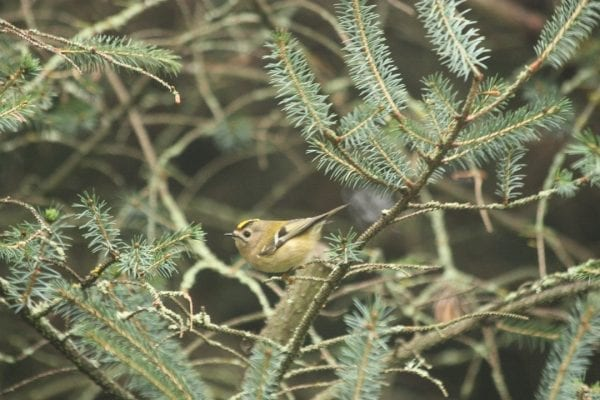 goldcrest-perched-in-conifer
