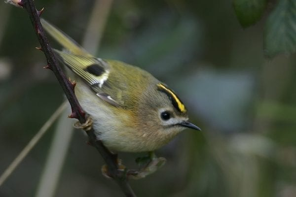 goldcrest-close-up-side-profile