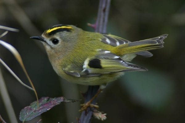 goldcrest-perched-on-bramble