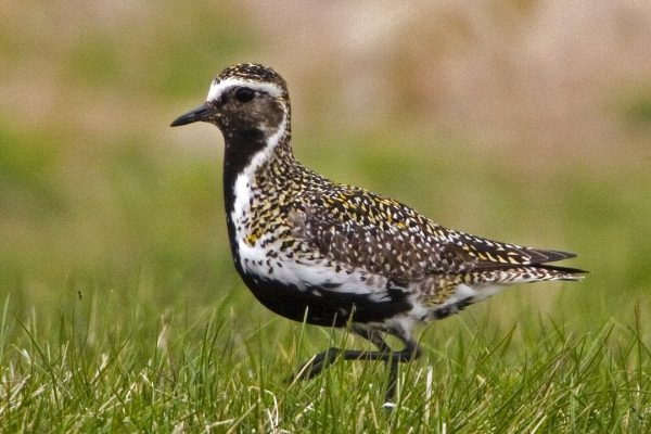 golden-plover-standing-on grass