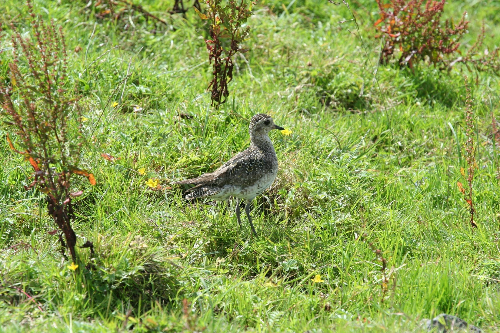 juvenile-golden-plover-standing-in-field
