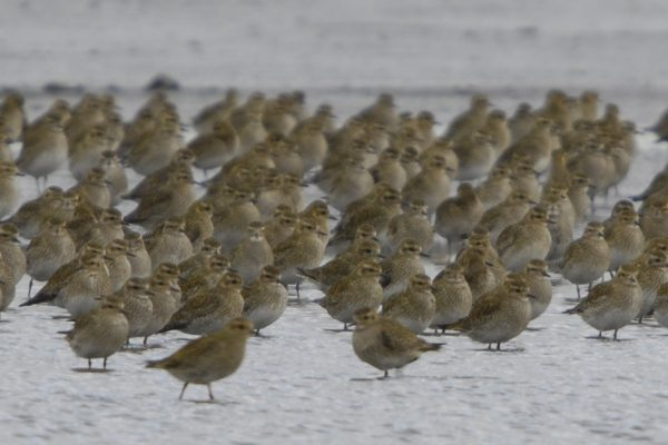 flock-of-golden-plover-standing-on-snow-covered-beach