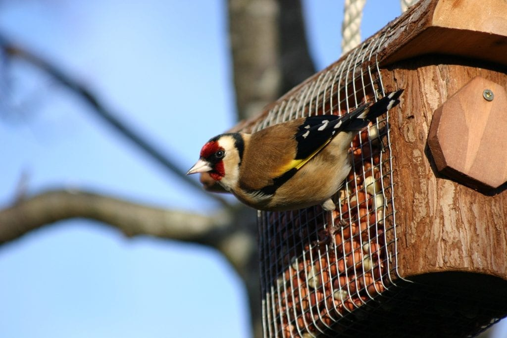 goldfinch-on-peanut-feeder