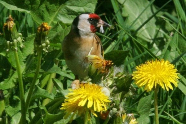 goldfinch-standing-in-grass-beside-dandelion-flower-eating-seeds-of-a-dandelion