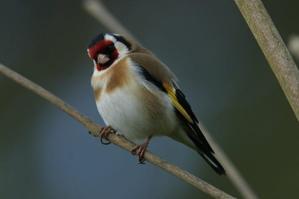 Goldfinch-standing-on-tree-branch