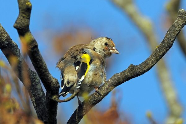 juvenile-goldfinch-with-motled-feathers-changing-to-adult-plumage-standing-on-branch