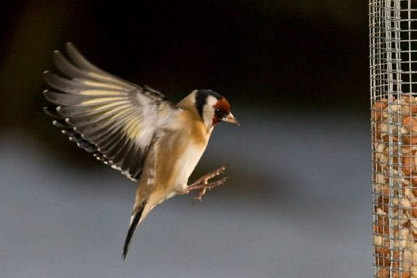 goldfinch-in-flight-coming-to-land-on-peanut-feeder