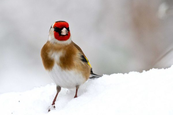goldfinch-standing-in-snow