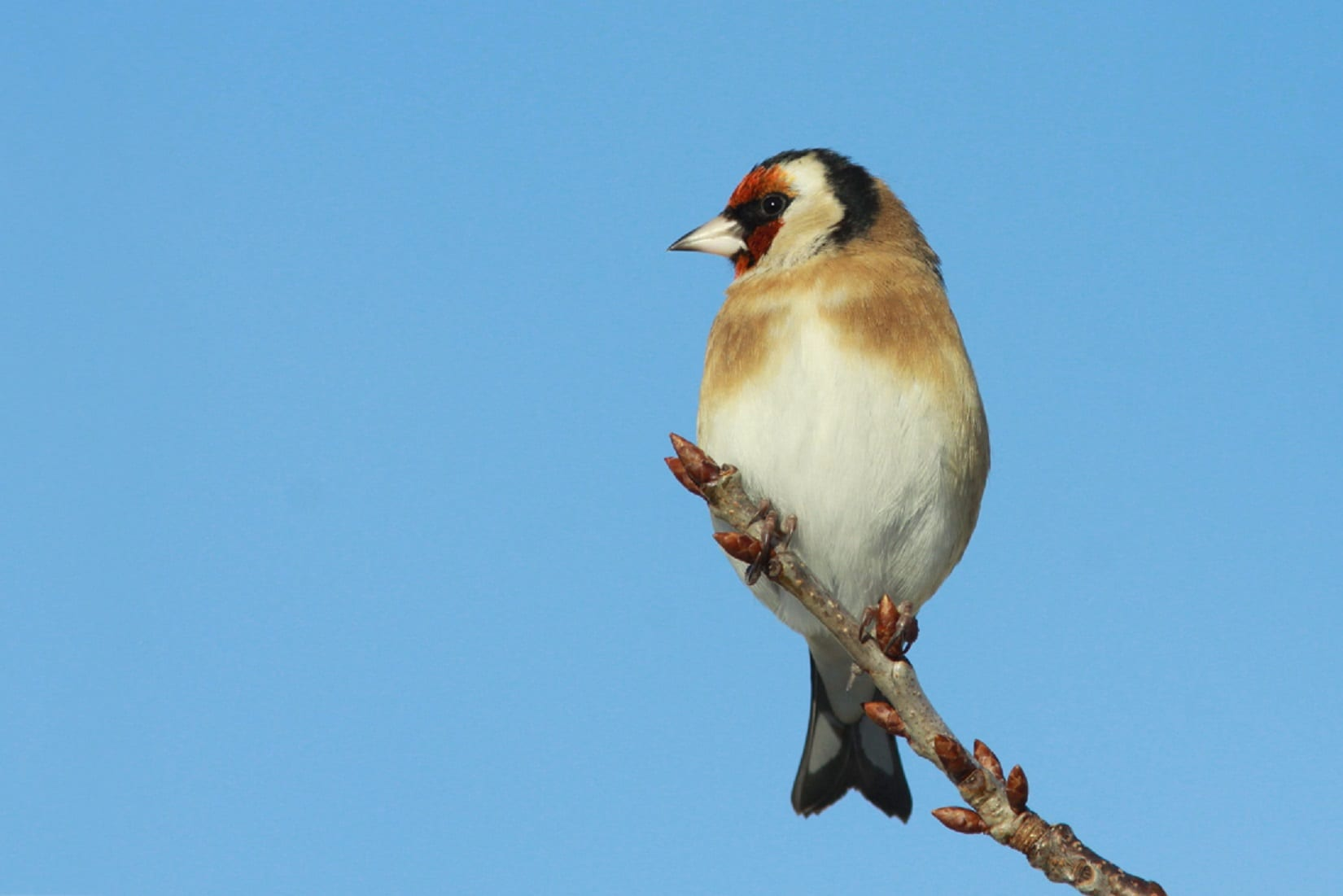 Goldfinch-perched-on-the-end-of-a-branch