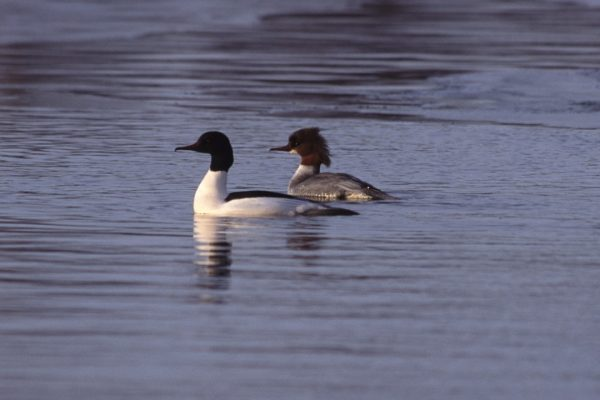 goosander-pair-swimming-together