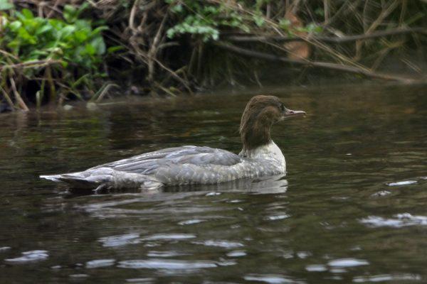 goosander-juvenile-swimming