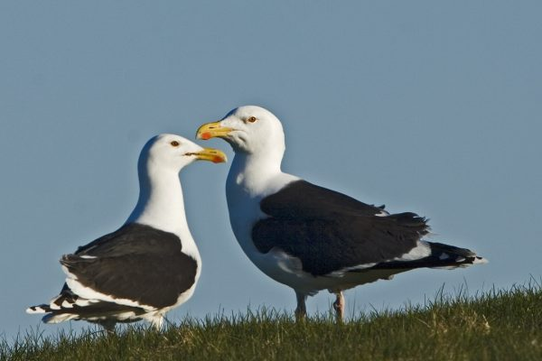 great-black-backed-gull-pair-standing-together-on-grass