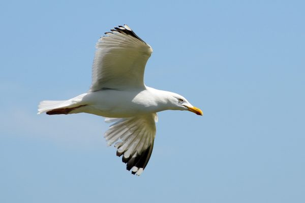 great-black-backed-gull-in-flight-showing-underwing