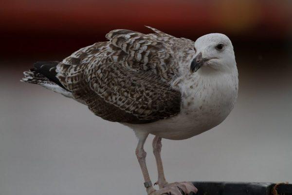 great-black-backed-gull-juvenile